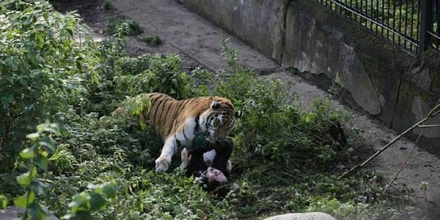 Une soigneuse se fait attaquer par un tigre dans un zoo russe - La DH