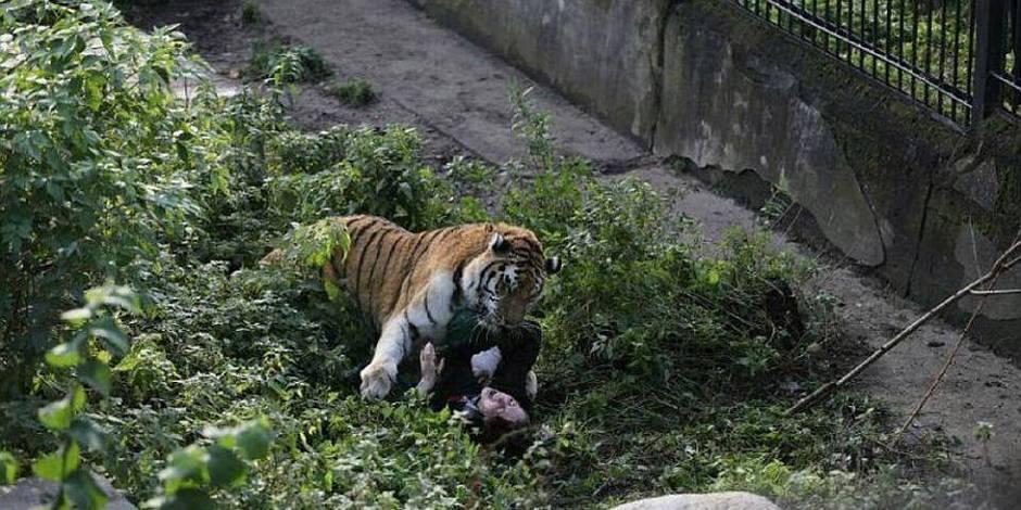 Une soigneuse se fait attaquer par un tigre dans un zoo russe