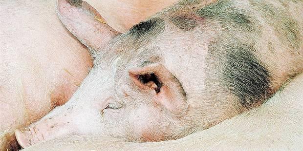 Un projet de ferme d'engraissement de 1.800 porcs inquiète à Ronquières - La DH