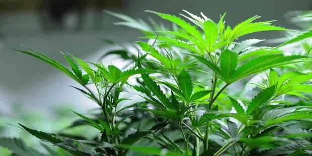 Un cultivateur et fabriquant de cannabis liégeois condamné à 250 heures de travail - La DH