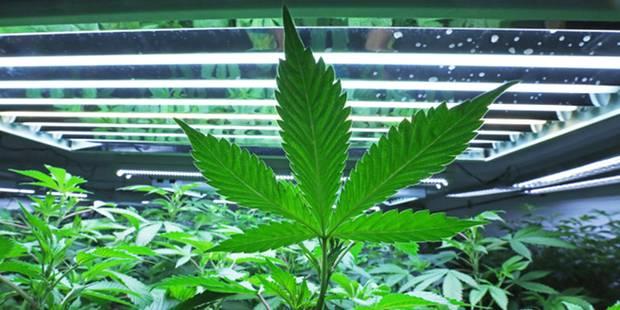 Quelque 1.400 plants de cannabis saisis à Pâturages! - La DH
