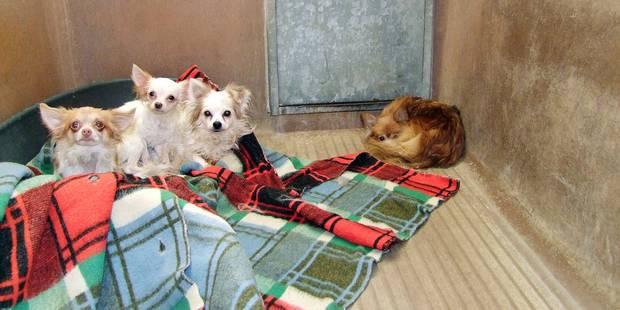 Waterloo: Cinq chihuahuas sauvés de l'horreur - La DH