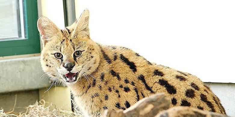 3 servals et 1 caracal saisis chez un particulier à Liège - La DH