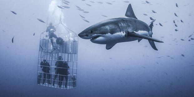 Des plongeurs font face à un grand requin blanc de 6 mètres de long! (PHOTOS) - La DH