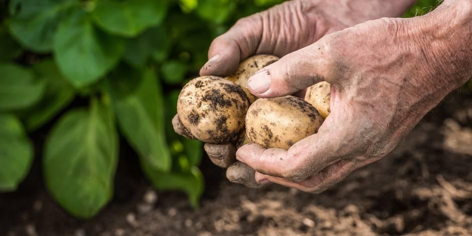 Comment la Belgique va faire face à son surplus de pommes de terre - La DH
